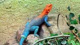 Exotic colorful lizard