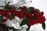 ^ Winterberry in winter snow
