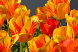 ^ Red and yellow tulips