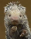 Animals tumblr currentsinbiology Porcupine