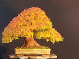 Unique Picture of Bonzi Mapel With Autumn Colors