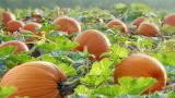 Pumpkin-patch-5945
