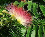 silk tree flower
