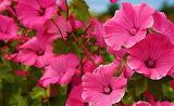 ☺♥ Pink hibiscus...