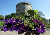Windsor Castle clematis