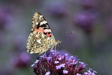 Butterflies - Painted Lady 2