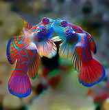Animals facebook Mandarin Fish