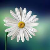 White Daisy...