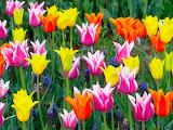 Tulipa-Tulips