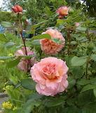 """Rose """"Augusta Luise"""""""