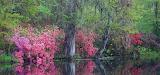 Azaleas on Water