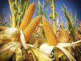 ^ Corn - vegetable and grain