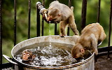 Monkeys drink water and bathe