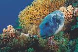 Kogelvis bij koraal-great barrier reef-Australië