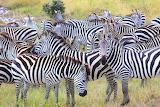 Zebras ~ Masai Mara, Kenya
