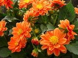 Pomarańczowe dalie