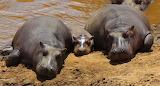 Hippos ~ Masai Mara, Kenya