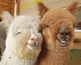 couple alpacas
