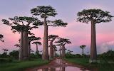 Baobab trees on madagascar