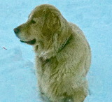 Golden Retriever playing in the Snow
