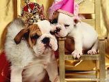Queen bulldog
