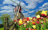 Tulips Netherlands Mill 471040