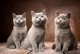 Cats British Shorthair Natalya Leis Grey Three 3 577940 1280x853