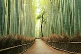 Bambusový les Arashiyama,japonsko