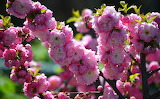 Flowering trees Closeup Branches Pink color 521794 1280x789