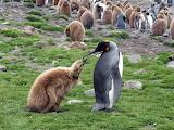 emperor penguin in South Georgia