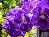 Gladiolus purple