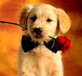 Dogs - Golden Retriever Puppy
