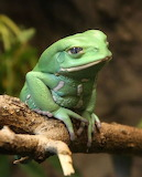 "Animals tumblr amnhnyc ""Waxy Monkey Tree Frog"" ""South America's"