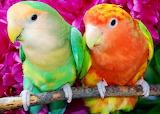 Colorful Parrotlets