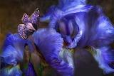Iris e farfalla