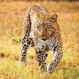 🐆Sneaky Leopard...