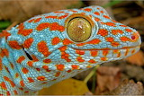 Colorful Tokay gecko from Microsoft Jigsaw by auricle99; nocturn