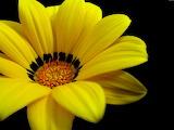 Yellow Flower - Flor Groga
