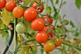 healthy food-tomato