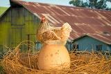 Giant Egg or Mini Chicken?