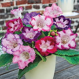 ^ Multi-Colored Butterfly Gloxinia
