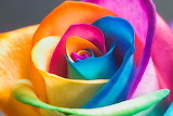 The Perfect Rainbow Rose by HappyRoses