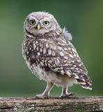 Birds - British Little Owl