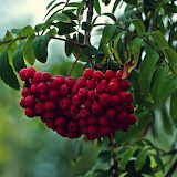 Rowan Fruit
