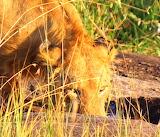 Lion~Masai Mara