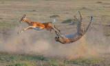Gazelle vs Cheetah ~ Masai Mara, Kenya