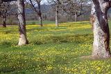 Savanna Oregon oak buttercup