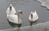 Cignes - Swans
