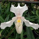 Orquídia Paphiopedilum
