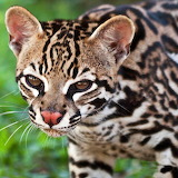 Ocelot Kitty...